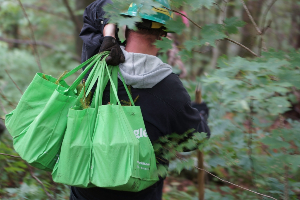 Man walking into a forest carrying three bags filled with young red spruce trees over his shoulder.